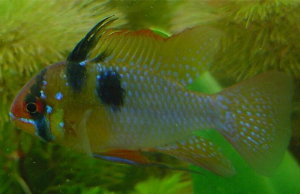 Picture of male Ram cichlid