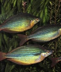 Picture of Banded Rainbows