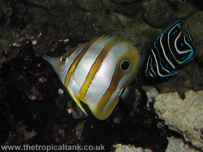 Copperband butterflyfish and Emperor angelfish