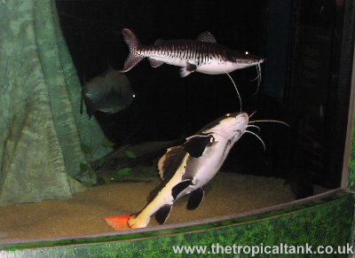 Red tailed catfish and tiger shovelnose